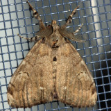 8316 - White-marked Tussock Moth - Orgyia leucostigma
