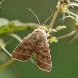 9555 - Even-lined Sallow - Ipimorpha pleonectusa