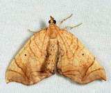 7197 - Greater Grapevine Looper - Eulithis gracilineata