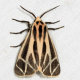 8169 - Harnessed Tiger Moth - Apantesis phalerata