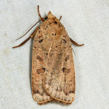 11029 - Greater Red Dart - Abagrotis alternata