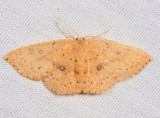 7136 – Packard's Wave Moth – Cyclophora packardi