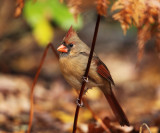 Northern Cardinal - Cardinalis cardinalis (female)