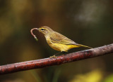 Palm Warbler - Setophaga palmarum