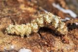 8499.9 - Fungus Moth caterpillar - Metalectra sp.