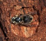 hibernating Bald-faced Hornet - Dolichovespula maculata