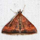5051 - Variable Reddish Pyrausta - Pyrausta rubricalis