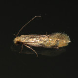 0300 - Yellow Wave Moth - Hybroma servulella