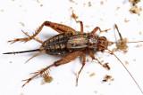 Allonemobius sp.(allardi or fasciatus)