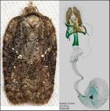 3539 - Lesser Maple Leafroller -  Acleris chalybeana (female)