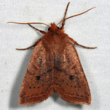 9946 – Sloping Sallow Moth – Epiglaea decliva
