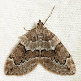 7217 - Juniper Carpet - Thera juniperata