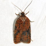 Acleris sp. 4691