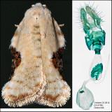3517 – Common Acleris - Acleris subnivana (female)