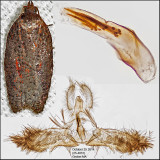3527 - Acleris  schalleriana (male)