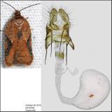 3521 - Acleris semiannula (female)