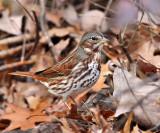 Sparrows - genus Passerella
