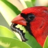 8540 - Citrus Fruit-piercer - Gonodonta nutrix (caught by a Cardinal)