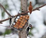 Carolina Wren & 2 Downy Woodpeckers feeding together