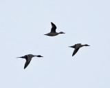 Northern Pintail - Anas acuta