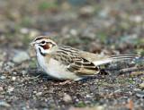 Sparrows - genus Chondestes