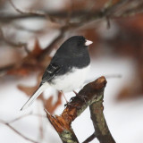 Dark-eyed Junco - Junco hyemalis (Slate-colored variant with white wing bars)