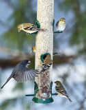 Junco flying in to feeder filled with Goldfinch