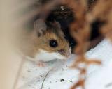 Deer Mouse - Peromyscus maniculatus?