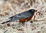American Robin - Turdus migratorius (Atlantic Canada subspecies)
