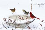 Cardinals & Goldfinch at heated birdbath