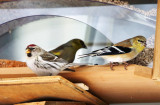Common Redpoll & American Goldfinch
