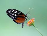 Polymorphic Longwing - Heliconius hecale