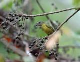Cherrie's Tanager - Ramphocelus passerinii (female)