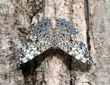 Feronia Cracker - Hamadryas feronia