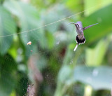 Long-billed Hermit - Phaethornis longirostris (checking out a spider web)