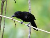 Black-hooded Antshrike - Thamnophilus bridgesi