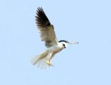 White-tailed Kite - Elanus leucurus