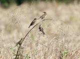 Red-breasted Blackbird - Sturnella militaris (juvenile)