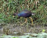 Purple Gallinule - Porphyrio martinicus (immature)