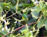 Green Shrike-Vireo - Vireolanius pulchellus