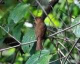 Rufous Mourner - Rhytipterna holerythra