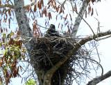 Common Black Hawk - Buteogallus anthracinus (on its nest)
