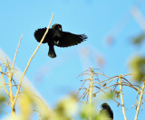 Bronzed Cowbirds - Molothrus aeneus (displaying for a female)