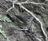 Louisiana Waterthrush - Parkesia motacilla