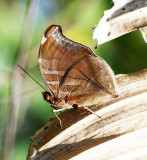 Orion Cecropian or Stinky Leafwing - Historis odius dious