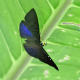 Blue-winged Eurybia - Eurybia lycisca