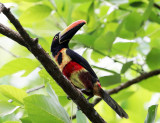 Fiery-billed Aracari - Pteroglossus frantzii