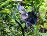 Bare-throated Tiger-Heron - Tigrisoma mexicanum