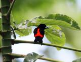 Cherrie's Tanager - Ramphocelus passerinii (male)