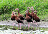 Costa Rica Waterfowl